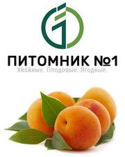 Саженцы абрикоса.